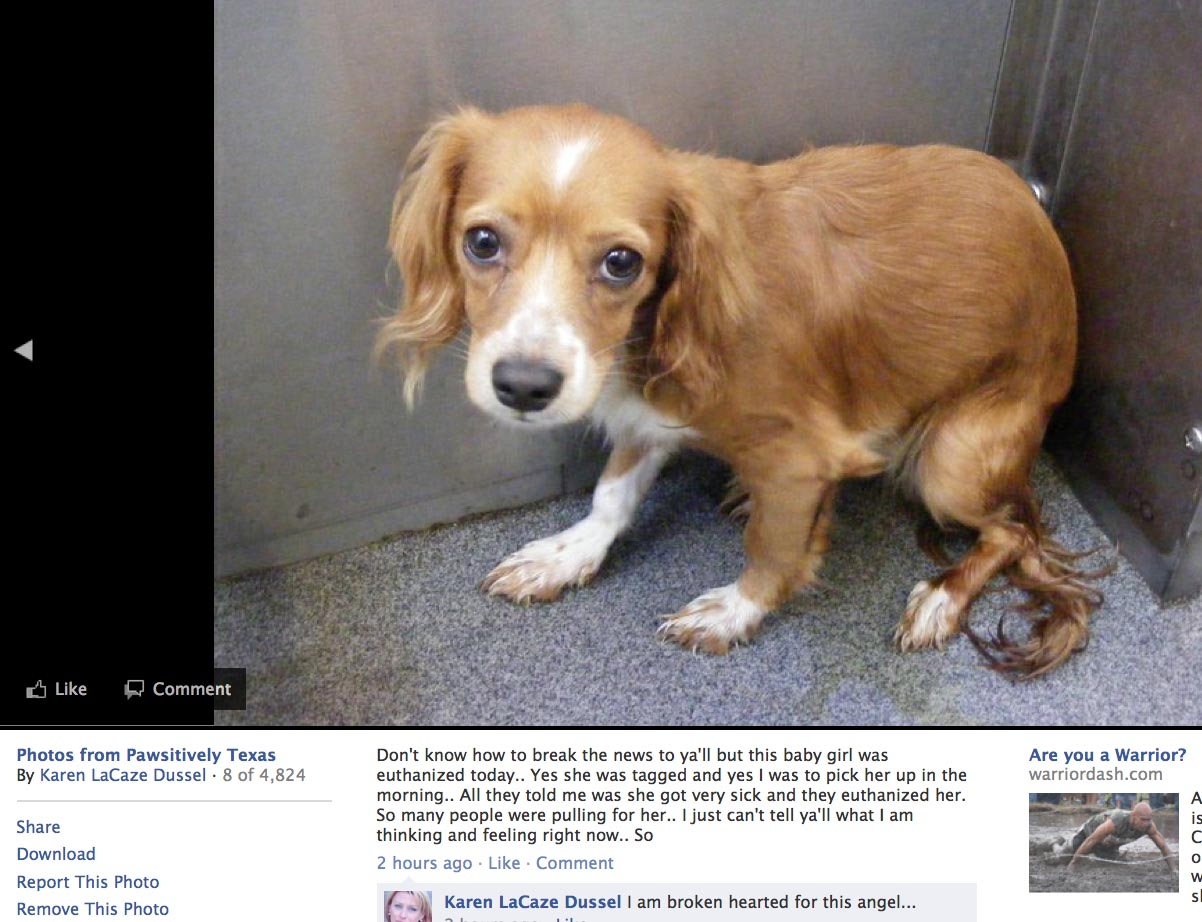 Dallas Animal Services Kills Another Dog Tagged for Rescue