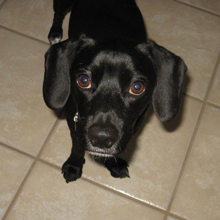 Black dog photo