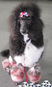 Cute Painted Poodle Shelter Dog