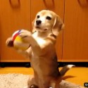 Beagle plays catch video
