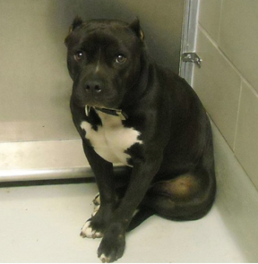 Pitbull shelter dog