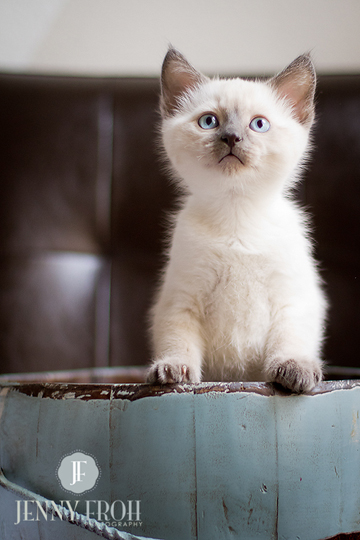 blue eyed kitten photo by jenny froh