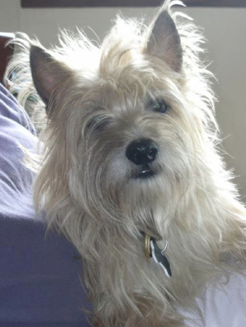 Toby is a rescue dog, a cairn terrier mix