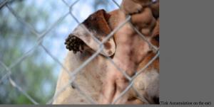 Tick-infested uvalde shelter dog in animal seizure texas shelter