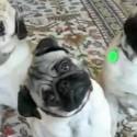 Dogs Dancing Gangnam Style