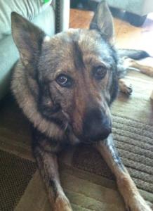 Kaiser Plymouth Police Dog