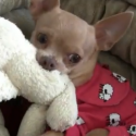 Tommy the Chihuahua loves his Teddy Bear