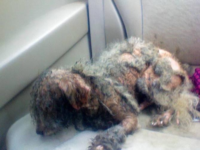 Abused dog saved by Corridor Rescue, Inc.