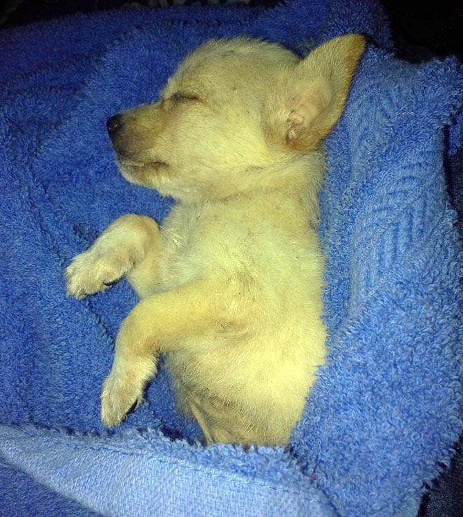 Rescued puppy sleeps as she fights for her life