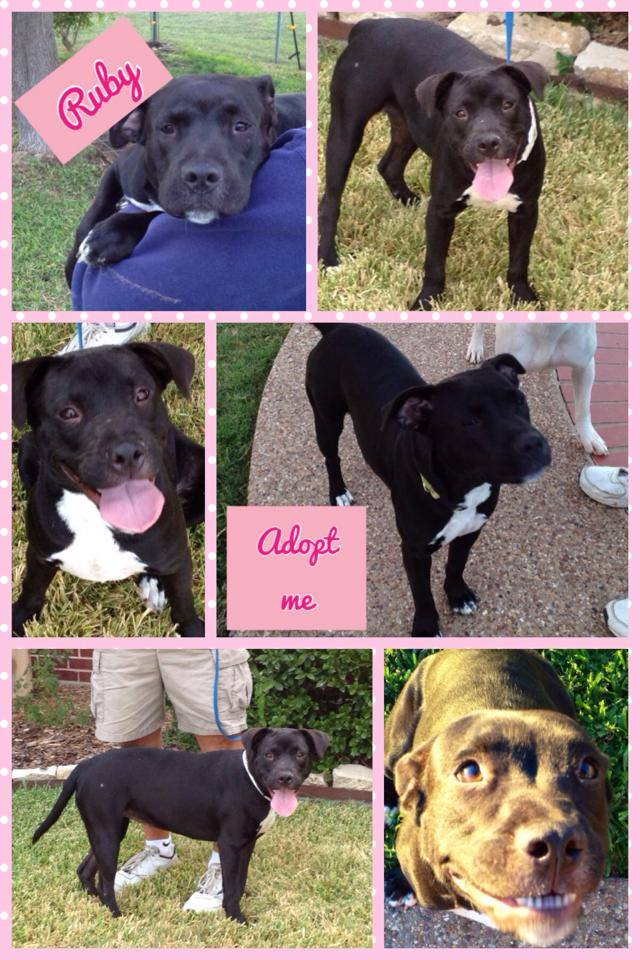 Very Lucky Pit Bulls Cute Mutts Available For Adoption Pet
