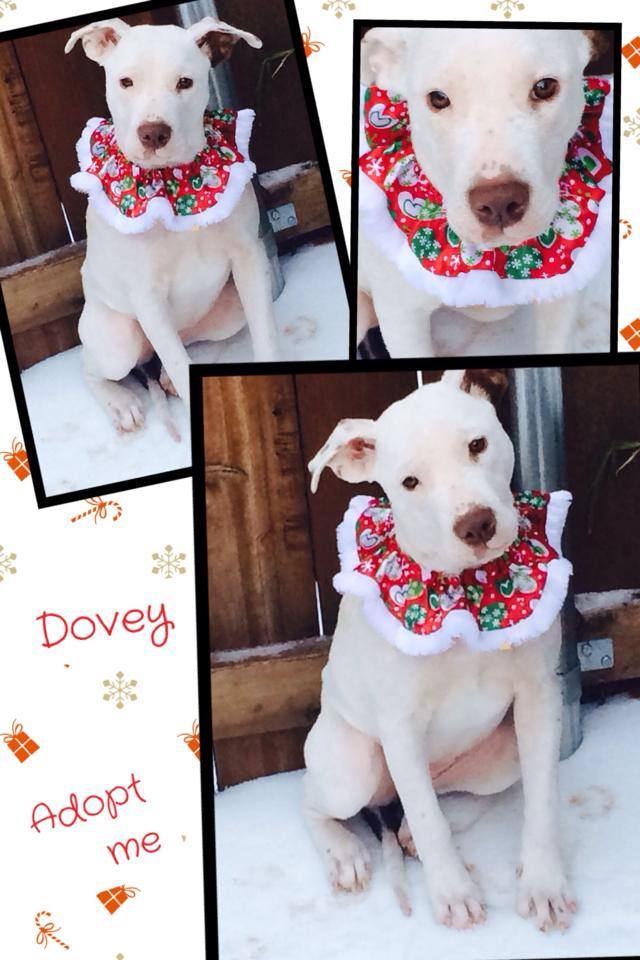 Dovie is a beautiful pit bull puppy available for adoption in Texas (image).