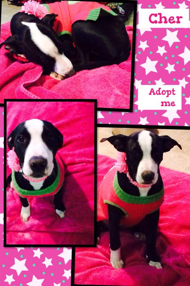 Cher is a cute rescue dog available for adoption in Dallas/Fort Worth, Texas (photo).