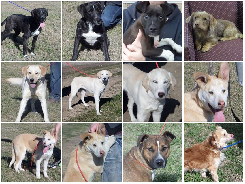 Adoptable dogs include lab and cute mutts in Cleburne, Texas