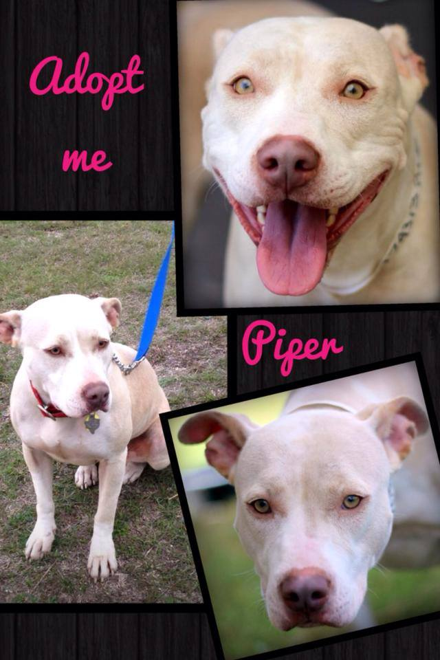 Piper is a pit bull available for adoption in North Texas (photo)