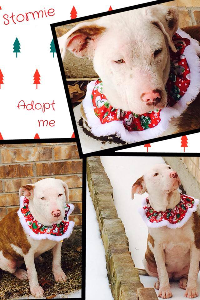 A pit bull named Stormie is available for adoption in Texas (photo).