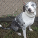Beautiful blue-eyed Catahoula dog available for adoption